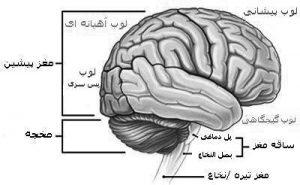 ساختار مغز